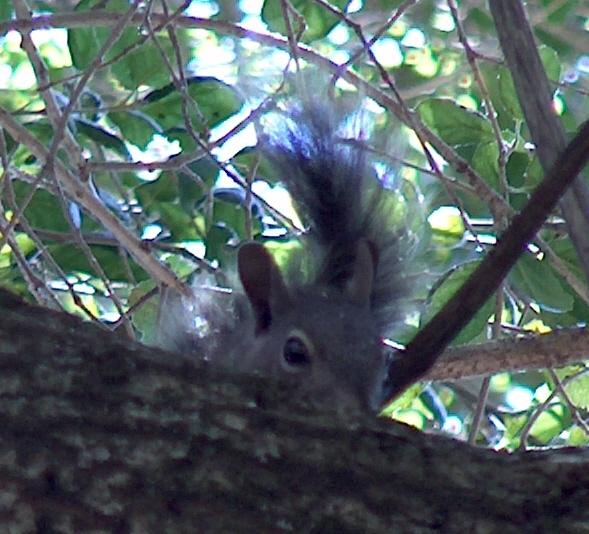 Quercus_agrifolia-baby greysquirrel