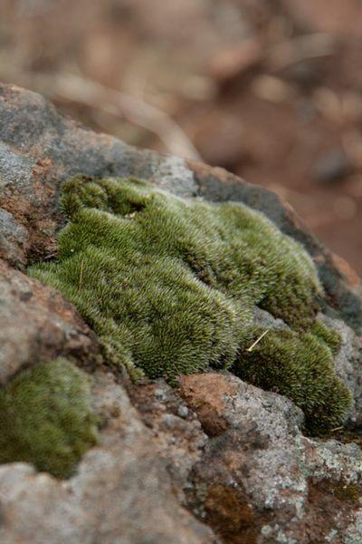 Gray moss