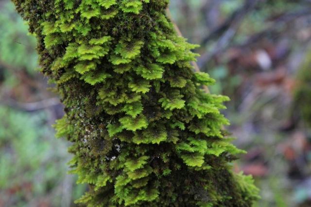 Fern leaf moss
