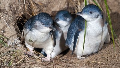 Little-blue-fairy-penguins-07