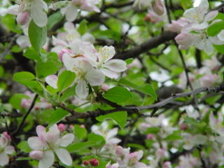 Appleblossoms_2