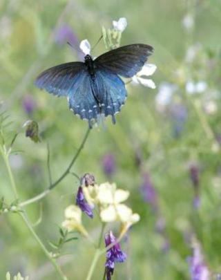 Bluebutterfly_2