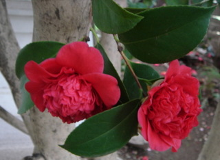 Redcamelliaup